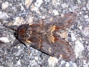 Notodonta dromedarius (Dromedar-Zahnspinner) / NOTODONTIDAE (Zahnspinner)