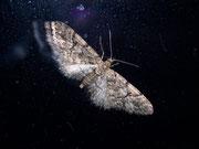 Eupithecia lanceata (Fichten-Blütenspanner) / GEOMETRIDAE/Larentiinae (Spanner)