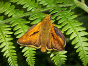 Ochlodes sylvanus (Rostfarbiger Dickkopffalter, Männchen) / HESPERIIDAE (Dickkopffalter)
