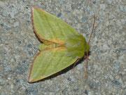 Nolidae (Graueulchen)