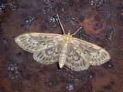Anania lancealis