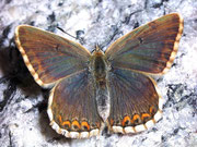 Polyommatus bellargus Himmelblauer Bläuling, (Weibchen) / LYCAENIDAE/Polyommatini (Bläulinge)
