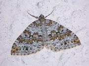 Entephria infidaria (Winkelzahl-Gebirgs-Blattspanner) / GEOMETRIDAE/Larentiinae (Spanner)