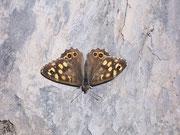 Pararge aegeria (Waldbrettspiel, Schweiz) / NYMPHALIDAE/Satyrinae (Edelfalter)
