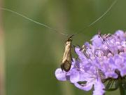 Nemophora metallica (Skabiosen-Langhornmotte) Männchen