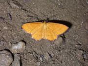 Idaea flaveolaria / GEOMETRIDAE/Sterrhinae (Spanner)