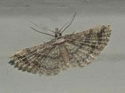 Pterotopteryx dodecadactyla