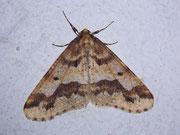Erannis defoliaria (Grosser Frostspanner) / GEOMETRIDAE/Ennominae (Spanner)