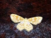 Hydrelia flammeolaria (Gelbgestreifter Erlenspanner) / GEOMETRIDAE/Larentiinae (Spanner)
