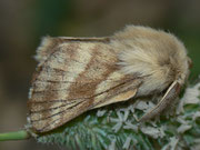 Lasiocampidae (Glucken)