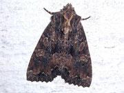 Blepta satura (Dunkelbraune Waldrandeule) / NOCTUIDAE (Eulen)