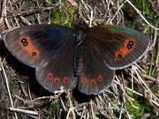 Erebia aethiops (Graubindiger Mohrenfalter, Männchen) / NYMPHALIDAE/Tr. Erebiini (Edelfalter)