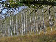Birkenwald im Maggiatal TI