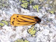 Setina aurita (Gelber Alpen-Flechtenbär)
