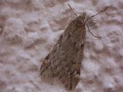 Alsophila aescularia (Frühlingskreuzflügler) / GEOMETRIDAE/Oenochrominae(Spanner)