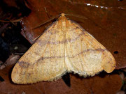 Agriopis aurantiaria (Orangegelber Breitflügelspanner) / GEOMETRIDAE/Ennominae (Spanner)
