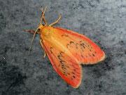 Miltochrista miniata (Rosaroter Flechtenbär) / ARCTIIDAE/Lithosiinae (Bärenspinner)
