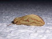 Hepialus humuli (Grosser Hopfen-Wurzelbohrer) / HEPIALIDAE (Wurzelbohrer)