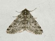 Apocheima pilosaria (Schneespanner) / GEOMETRIDAE/Ennominae (Spanner)