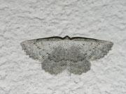 Elophos dilucidaria (Lichtgrauer Bergwaldspanner) / GEOMETRIDAE/Ennominae (Spanner)