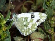 Pontia daplidice / PIERIDAE/Pierinae (Weisslinge)