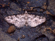Eupithecia schuetzeata / GEOMETRIDAE/Larentiinae (Spanner)