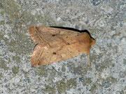 Agrochola macilenta