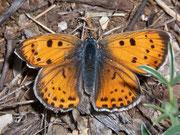 Lycaena alciphron gordius (Violetter Feuerfalter, Weibchen) / LYCAENIDAE/Lycaeninae (Bläulinge)
