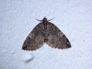 Hydriomena impluviata (Erlenhain-Blattspanner) / GEOMETRIDAE/Larentiinae (Spanner)