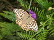 Argynnis paphia valezina (Kaisermantel, Weibchen) / NYMPHALIDAE/Heliconiinae (Edelfalter)