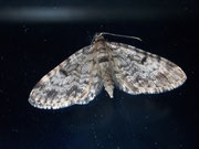 Eupithecia tantillaria (Nadelgehölz-Blütenspanner) / GEOMETRIDAE/Larentiinae (Spanner)