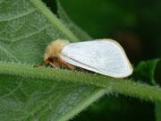 Hepialus humuli (Männchen) / HEPIALIDAE (Wurzelbohrer)