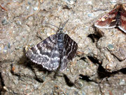 Macaria carbonaria