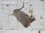 Chersotis margaritacea (Graue Labkrauteule) / NOCTUIDAE (Eulen)