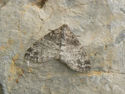 Lobophora halterata / GEOMETRIDAE/Larentiinae Trichopterygini (Spanner)