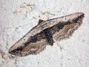 Horisme vitalba (Zweifarbiger Waldrebenspanner) (Heidespanner) / GEOMETRIDAE/Larentiinae(Spanner)