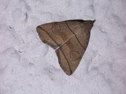 Herminia grisealis (Bogenlinien-Spannereule) / NOCTUIDAE (Eulen)