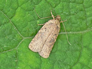 Depressaridae (Flachleibmotten)