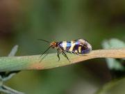 Micropterigidae (Urmotten)