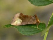 Diachrysia chryson (Wasserdost-Goldeule) / NOCTUIDAE/Plusiinae (Eulen)