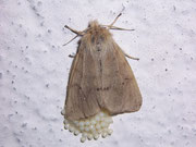 Diaphora sordida (Grauer Fleckenbär, Weibchen) / ARCTIIDAE/Arctiinae (Bärenspinner)