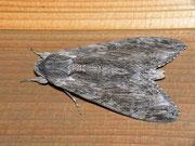 Agrius convolvuli (Windenschwärmer) / SPHINGIDAE (Schwärmer)