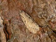 Semiscopis avellanella