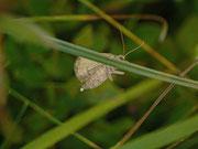 Eulithis populata (Eiabwurf in die Vegetation)