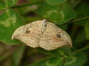 Drepana falcataria (Heller Sichelflügler)