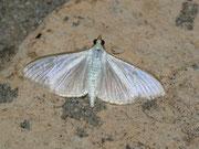 Palpita vitrealis / CRAMBIDAE/Spilomelinae (Zünsler)