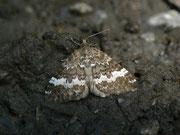 Perizoma affinitata (Dunkler Lichtnelken-Kapselspanner) / GEOMETRIDAE/Larentiinae