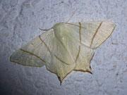 Ourapteryx sambucaria (Nachtschwalbenschwanz) / GEOMETRIDAE/ Ennominae (Spanner)