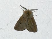 Diaphora mendica (Graubär, Männchen) / ARCTIIDAE/Arctiinae (Bärenspinner)