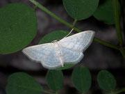 Scopula umbelaria (Schwalbenwurz-Kleinspanner) / GEOMETRIDAE/ Sterrhinae (Spanner)